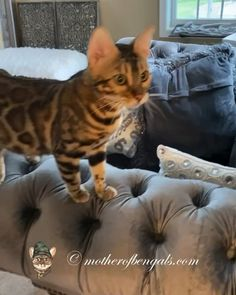 Arya the Auto Tune Bengal 🔊 - Funny Cats Cute Kittens, Cute Little Kittens, Cute Kitten Gif, Cats And Kittens, Funny Animal Videos, Cute Funny Animals, Cute Baby Animals, Animals And Pets, Funny Cats