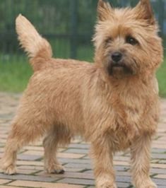 Cairn Terrier - Dog Breed Information and Images - K9RL Wheaten Terrier Mix, Chihuahua Terrier Mix, Terrier Dog Breeds, Frenchton Dog, Group Of Dogs, Animal Facts, Animal Shelter, Rescue Dogs, Pets