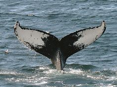 """Whale watching.. """"but not on big tour boats"""" I don't want to bother them."""
