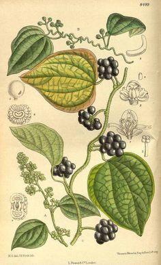 7193 Cocculus orbiculatus (L.) DC. [as Cocculus trilobus (Thunb.) DC.] / Curtis's Botanical Magazine, vol. 139 [ser. 4, vol. 9]: t. 8489 (1913) [M. Smith]
