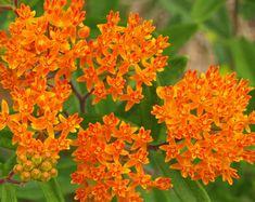 Monarch butterflies migrating   The Old Farmer's Almanac