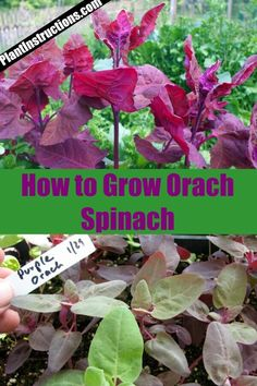 This type of spinach also comes in a variety of different colors, meaning it'll liven any dish! Keep reading to find out how to grow orach spinach, care for it, and harvest it in your own garden! Planting Vegetables, Planting Seeds, Growing Vegetables, Fruits And Vegetables, Beautiful Flowers Garden, Beautiful Gardens, Fruit Garden, Vegetable Garden, Container Gardening