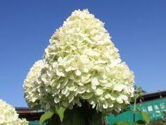 Super für Kübel und sehr winterhart. Rispenhortensie 'Limelight' - Hydrangea paniculata 'Limelight'