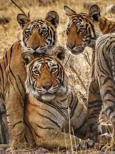 FAMILY Photo by Raajan Mehra — National Geographic Your Shot - Raubkatzen - Animals Cute Baby Animals, Animals And Pets, Funny Animals, Wild Animals, Big Cats, Cats And Kittens, Cute Cats, Beautiful Cats, Animals Beautiful