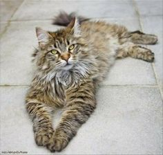 Relaxing Maine Coon Cutie! Maine Coon, Beautiful Cats, Relax, Kitty, Pets, Baby, Pictures, Animals, Cats