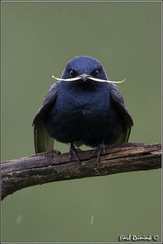 """""""Eli Martin wanted to be different, so he grew a mustach"""" (purple martin) by Earl Reininck on flickr by janis"""