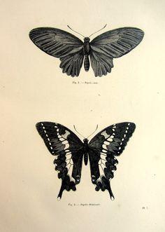 1860 Antique BUTTERFLY engraving print vintage origina