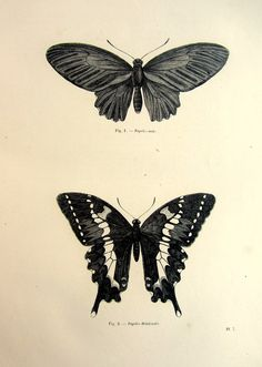 1860 Antique BUTTERFLY engraving print vintage origina
