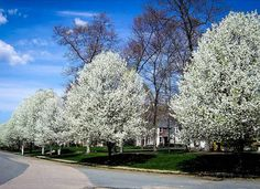 Cleveland Pear The Cleveland pear is a fast-growing ornamental tree that blooms furiously with white flowers in springtime. It's a front yard showstopper that will grow four feet a year, reaching 30 to 40 feet at maturity. It is both cold hardy and heat-tolerant, but requires full sun to put on its best show. Available on Amazon; $68.99 for 4-foot tall tree.