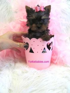 Some of the Tiniest, Most Beautiful Teacup Yorkie Puppies in the World! Teacup Yorkie and Small Toy Yorkies for Sale. Micro Teacup Yorkie, Teacup Yorkie For Sale, Teacup Chihuahua Puppies, Yorkies For Sale, Yorkie Puppy For Sale, Super Cute Puppies, Cute Baby Dogs, Cute Dogs And Puppies, Puppies For Sale