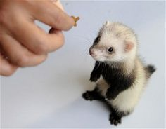An owner feeds its ferret a treat. Raising ferrets as pets is the latest craze in China because they are small and clean and easy to keep. A ferret pet shop in Zhengzhou, central China's Henan Province, said they can sell more than 10 ferrets a day,. Each ferret the shop sells comes with itsown unique 'passport' and is micro chipped. The furry pets are proving to be a hit with people who do not have much time or space in which to look after their animals.
