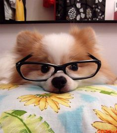 Dog with glasses.