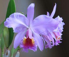 Orchid: Cattleya x peregrine - a hybrid