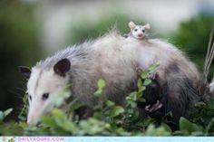 Big Possum Little Possum