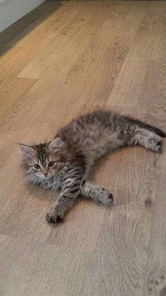Sibirian cat. Athene