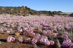 Candelabra Flowers in profusion, Nieuwoudtville, South Africa South African Flowers, African Quotes, African Life, Beaches In The World, Most Beautiful Beaches, Biomes, Historical Pictures, My Land, Beautiful Landscapes