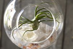 Tips on using air plants in terrariums.