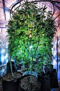 Marijuana                  http://spliffseeds.nl/blue-medi-kush-female-cannabis-seeds-detail