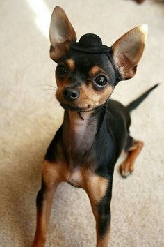 Named in honor of the state of Chihuahua in Mexico, the Chihuahua has the prestige of being the smallest breed of dog in the world. One of the most popular breeds around the world, the Chihuahua – … Mini Pinscher, Miniature Pinscher, Miniature Doberman, Chihuahua Puppies, Cute Puppies, Cute Dogs, Chihuahuas, Baby Animals, Funny Animals