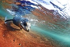 A sea lion in the shallow waters around Rabida Island, Galapagos-photo by James Morgan