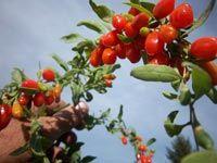 GOJI (Kustovnice čínská) pěstování - informace zdarma