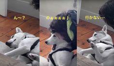 そのときハスキーはNoと告げた自分の意思をしかと伝える頑固な犬動画
