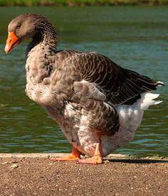 Raising Geese 101