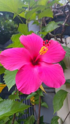 Hibiscus in Shocking Pink Color 🌺 210317