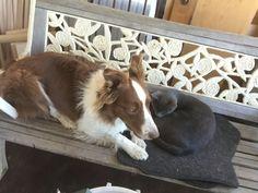 White Border Collie, Cow, Animals, Animales, Animaux, Cattle, Animal, Animais