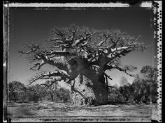 Elaine Ling - Baobab, Tree of Generations Baobab Tree, Renewable Sources, Contemporary Photography, Photo Series, Growing Tree, Water Lilies, Great Friends, Black And White Photography, Black And White
