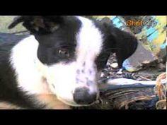The Dog Shep
