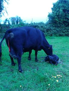 2nd calf today just now Dinner time A3 cow …..limousine heifer