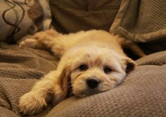 Gorgeous Goldendoodle puppy!  #goldendoodle #puppies #cutedogs
