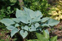 Zielono Zakręceni: Funkia (Hosta) Fragrant Blue (1/1)