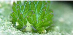 Costasiella Kuroshimae est un petit mollusque du groupe des nudibranches. C'est l'un des rares animaux capables de photosynthèse ! <3