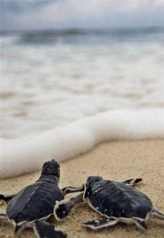 Baby turtles...