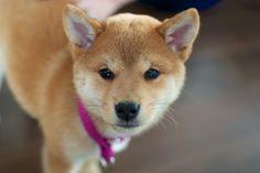 #ShibaInu #Puppy