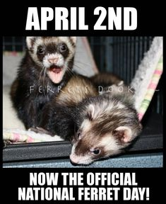 National ferret day, I'm not gonna forget this day! Baby Ferrets, Funny Ferrets, Pet Ferret, Funny Dog Pictures, Exotic Fish, Cute Little Baby, Funny Animal Videos, Otters, Savannah Chat