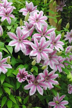 Clematis - Nelly Moser - we have this twining on the front fence