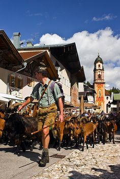 The return of the Goats from summer grazing in the Alps. Mittenwald, Germany