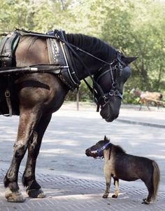 Mini and draft horse