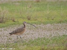 Curlew Bird Photography