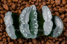 "Haworthia truncata ""Mammoth""(""맘모스"") JYH-OT-母樹-B0000 3-7"