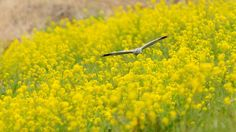 Hen Harrier above Yellow Carpet ! by Mubi.A Now, I'm Ranking No. 2 ! ^^; https://youpic.com/photographers