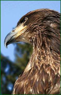 "Do you want to get ""nose-to-beak"" with the diverse and fascinating world of bird. Raptor Center, Pop Cans, Birds Of Prey, Eagles, Conservation, Bald Eagle, Survival, How To Get, World"