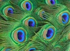 plumas de pavo real -