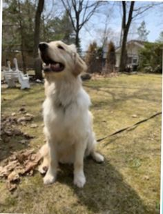 It's our favourite day of the week once again! Welcome to #ForeverFamilyFriday! This week we are sending congratulations to Marley. This lucky boy is already settling in to the hearts of his new family and has had his first trip of many to the cottage! #goldenretriever #adoptdontshop #secondchances Second Chances, Labrador Retriever, Congratulations, Adoption, Hearts, Cottage, Animals, Labrador Retrievers, Foster Care Adoption