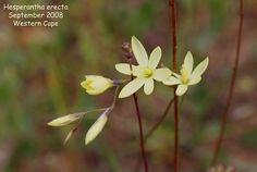 Hesperantha erecta