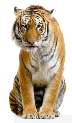 tiger sitting - Google Search