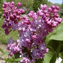 A hardy flower that is resistant to deer and attracts butterflies, the Kalmia latifolia 'Peppermint' is an adorable addition to your yard or garden that is perfect for foundation planting. Kalmia Latifolia, Cement Statues, Foundation Planting, Hollyhock, Garden Seeds, English Roses, Lily Of The Valley, Flower Fashion, Shrubs